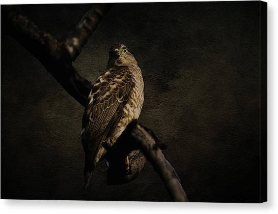 Sparrow Hawk Canvas Print