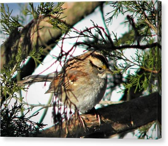 Sparrow In The Snow Canvas Print