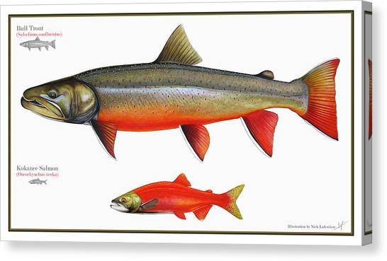 Trout Canvas Print - Spawning Bull Trout And Kokanee Salmon by Nick Laferriere
