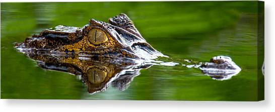 Crocodile Canvas Print - Spectacled Caiman Caiman Crocodilus by Panoramic Images