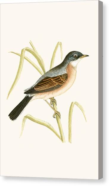 Warblers Canvas Print - Spectacled Warbler by English School
