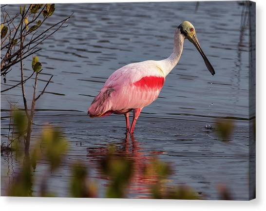 Spoonbill Fishing Canvas Print