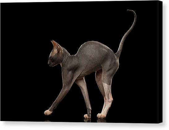 Sphynx Cats Canvas Print - Sphynx Cat Funny Standing Isolated On Black Mirror by Sergey Taran