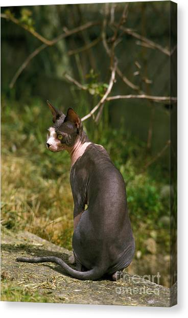 Sphynx Cats Canvas Print - Sphynx Cat by Gerard Lacz