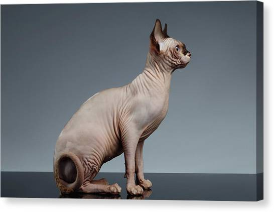 Sphynx Cats Canvas Print - Sphynx Cat Sits And Looking Forward On Black  by Sergey Taran