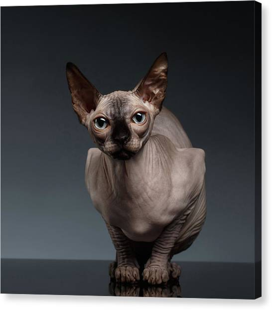 Sphynx Cats Canvas Print - Sphynx Cat Sits In Front View On Black  by Sergey Taran