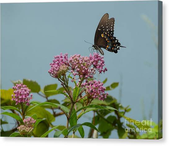 Spicebush Butterfly Canvas Print