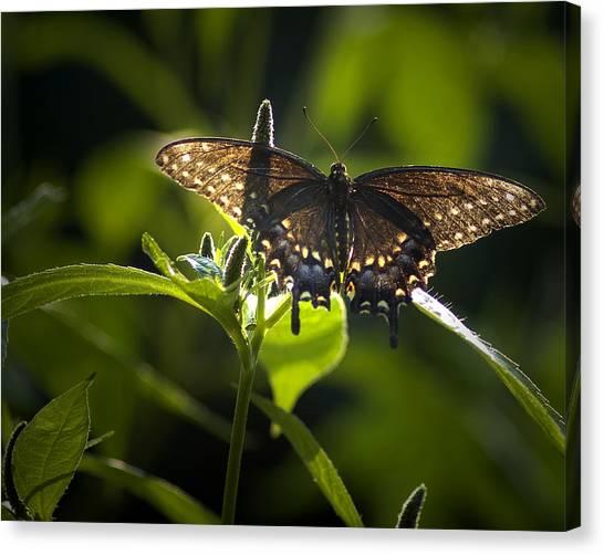 Spicebush Swallowtail I Canvas Print