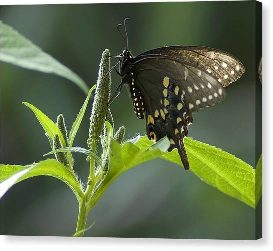 Spicebush Swallowtail IIi Canvas Print