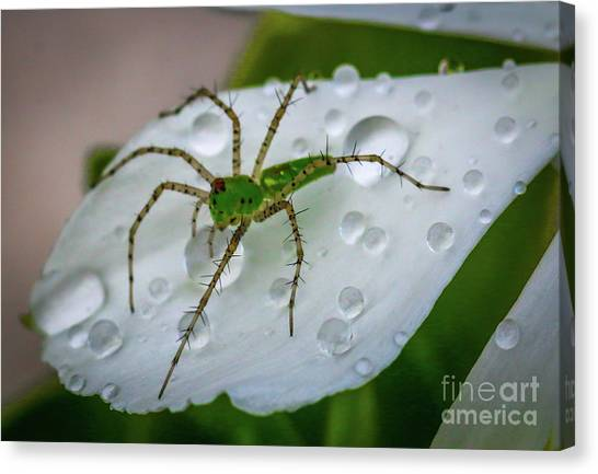 Spider And Flower Petal Canvas Print