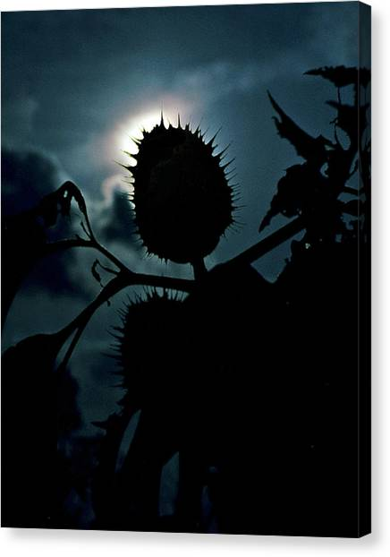 Spike Seed Pod Canvas Print by Dave Chafin