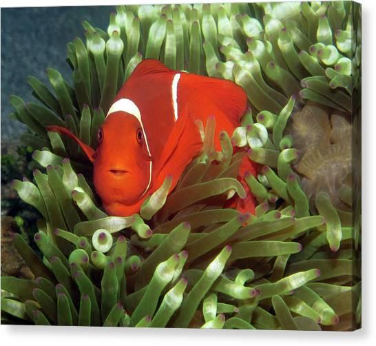 Spinecheek Anemonefish, Indonesia 2 Canvas Print