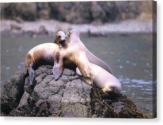 Spirited Sea Lions Canvas Print