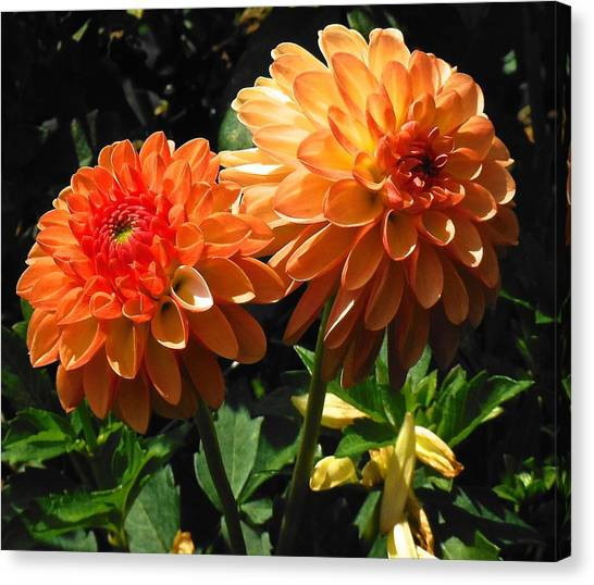 Splendor Of Fall Dahlias  Canvas Print