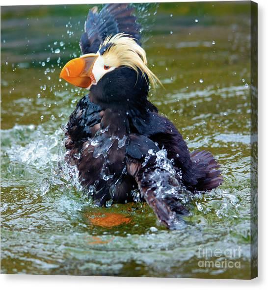 Puffins Canvas Print - Splish Splash by Mike Dawson