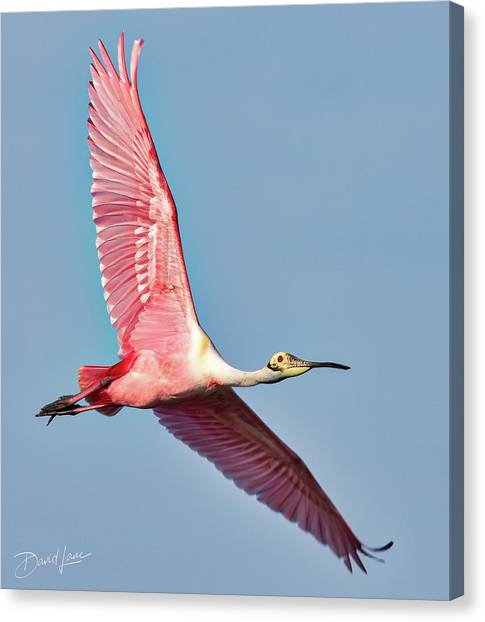Canvas Print featuring the photograph Spoonbill Flying Over by David A Lane