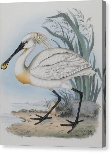 Spoonbills Canvas Print - Spoonbill by John Gould
