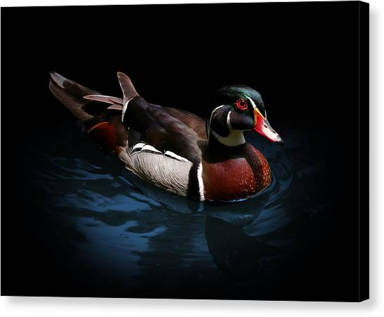 Spotlight On A Wood Duck Canvas Print
