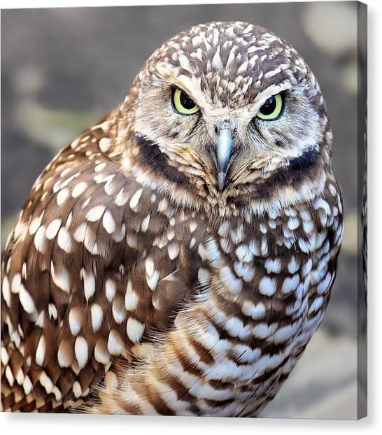 Spots - Burrowing Owl Canvas Print