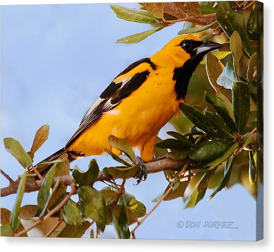Canvas Print - Spotted Breasted Oriole by Don Durfee