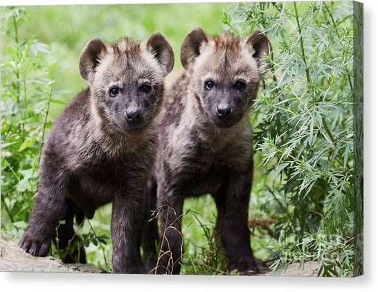 Canvas Print featuring the photograph Spotted Hyena Cubs I by Nick Biemans