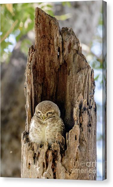 Spotted Owlet Canvas Print