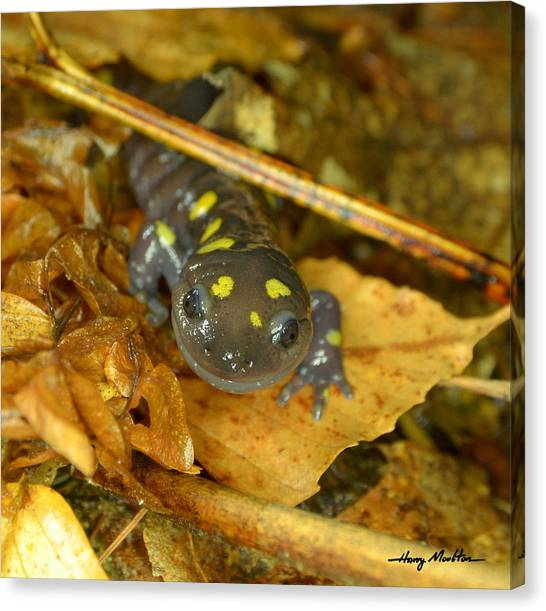 Spotted Salamander Canvas Print