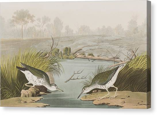 Sandpipers Canvas Print - Spotted Sandpiper by John James Audubon