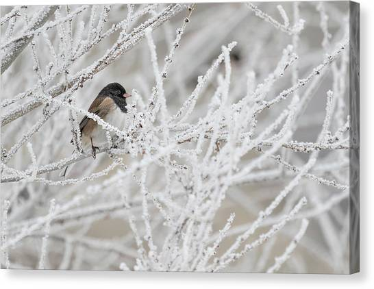 Spotted Towhee In Winter Canvas Print