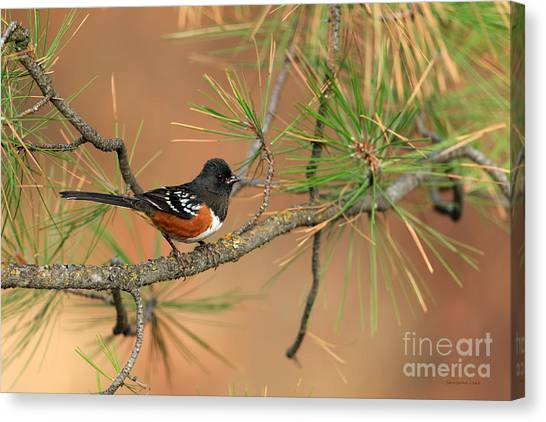 Brown Towhee Canvas Print - Spotted Towhee by Beve Brown-Clark Photography
