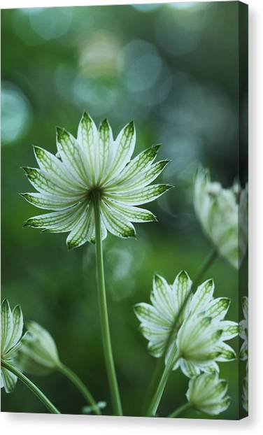Botanica .. Spray Of Light Canvas Print