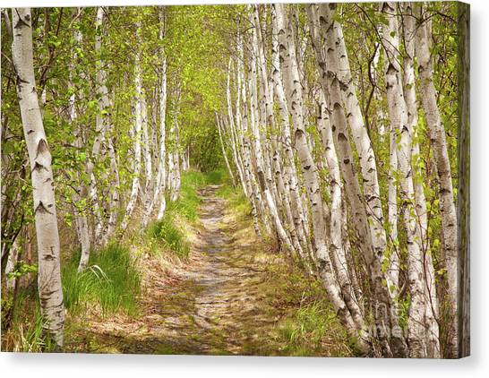 Spring Birch Canvas Print