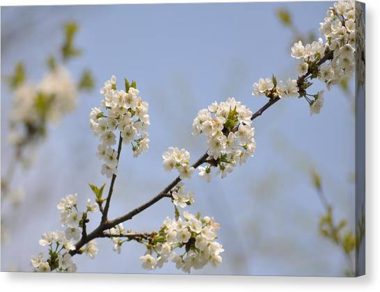 Spring Blossom Canvas Print by Gwen Allen