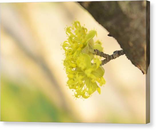 Mimosa Canvas Print - Spring Blossom  by Art Spectrum