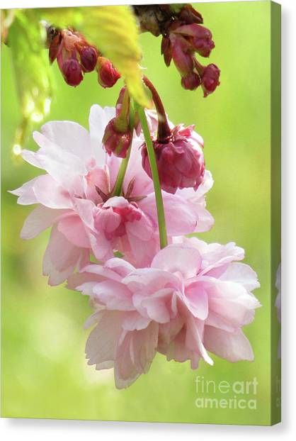 Spring Blossoms 8 Canvas Print