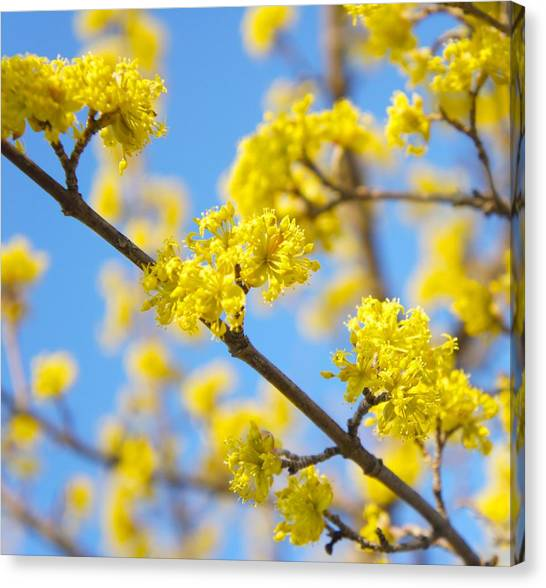 Mimosa Canvas Print - Spring Blossoms by Art Spectrum