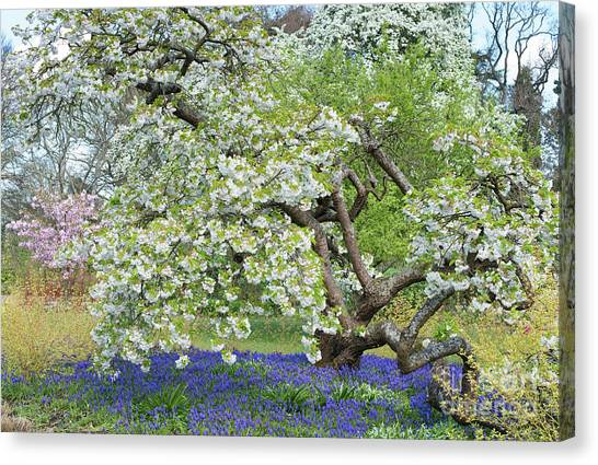 Tree Blossoms Canvas Print - Spring Color by Tim Gainey