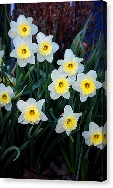 Spring Daffodills Canvas Print by Jame Hayes