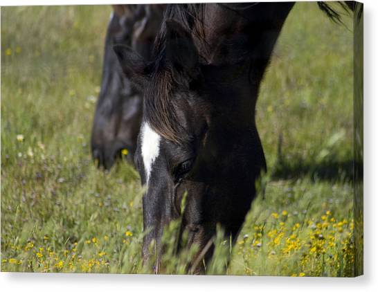 Horses Eating Spring Grass Canvas Print