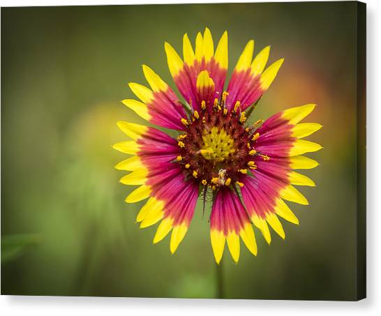 Spring Indian Blanket Canvas Print