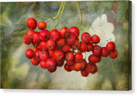 Spring Mountain Ash Berries  Canvas Print