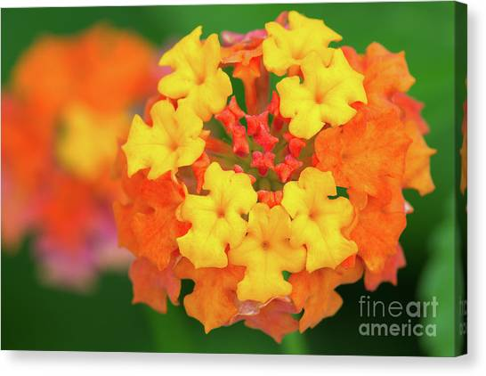 Spring Ornament Canvas Print by Steven Dillon