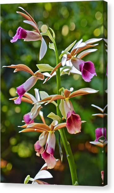 Spring Show 15 Nun's Orchid 1 Canvas Print