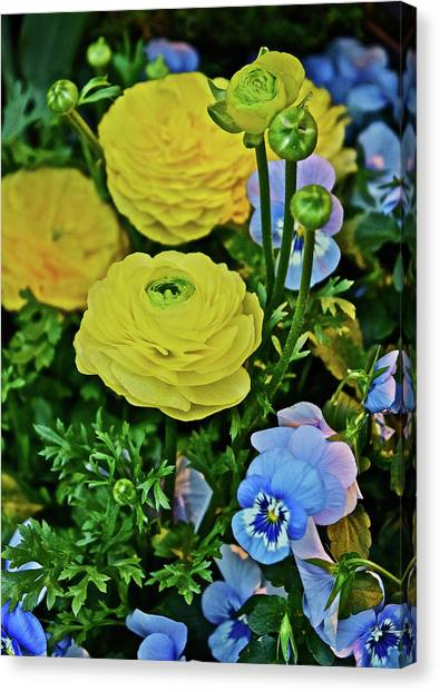 Spring Show 18 Persian Buttercup With Horned Viola Canvas Print