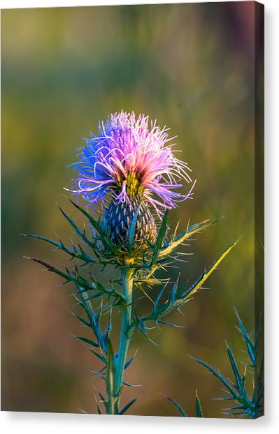 Spring Thistle Canvas Print