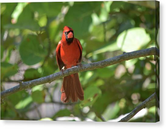 Spring Training Cardinal Canvas Print