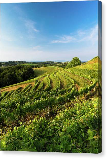Canvas Print featuring the photograph Spring Vinyard by Davor Zerjav