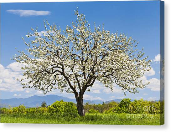 Springtime Apple Tree Canvas Print