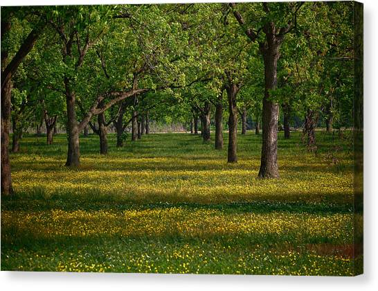 Springtime Through The Pecan Trees Canvas Print