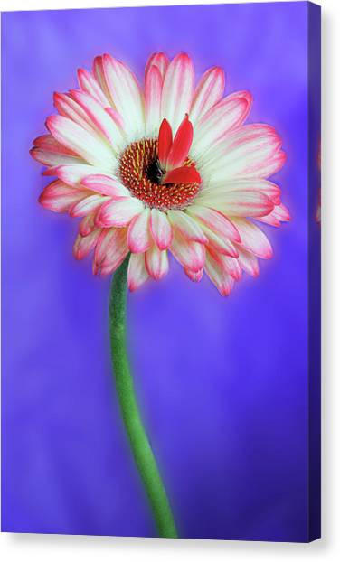 Sprouting Dahlia Canvas Print